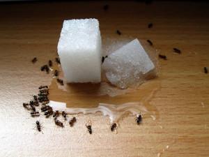 Nejčastěji se v domácnostech vyskytují mravenci