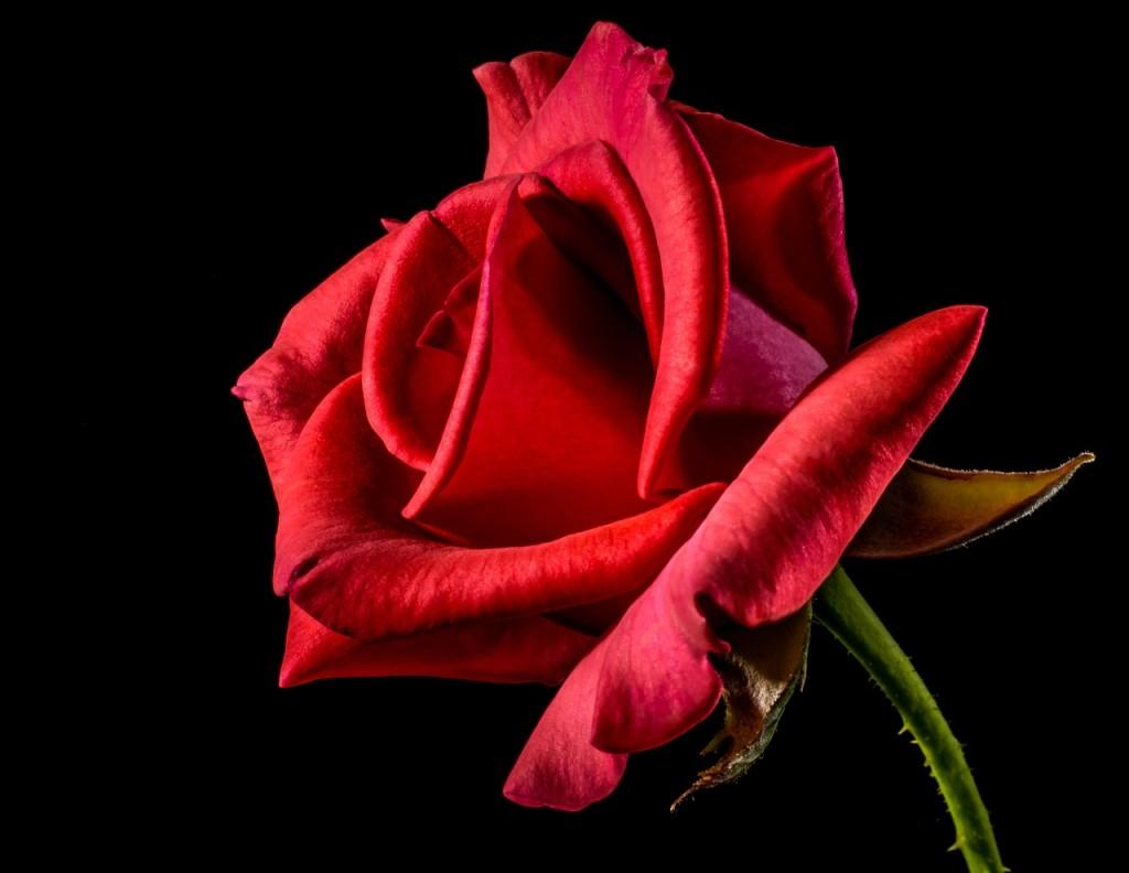 red-rose-320868_1280