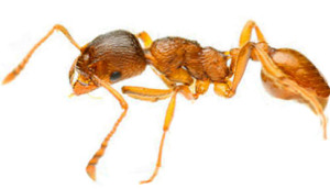 pharaoh-ant-control-toronto
