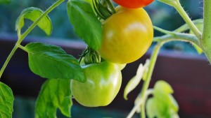 bush-tomatoes-876974_960_720